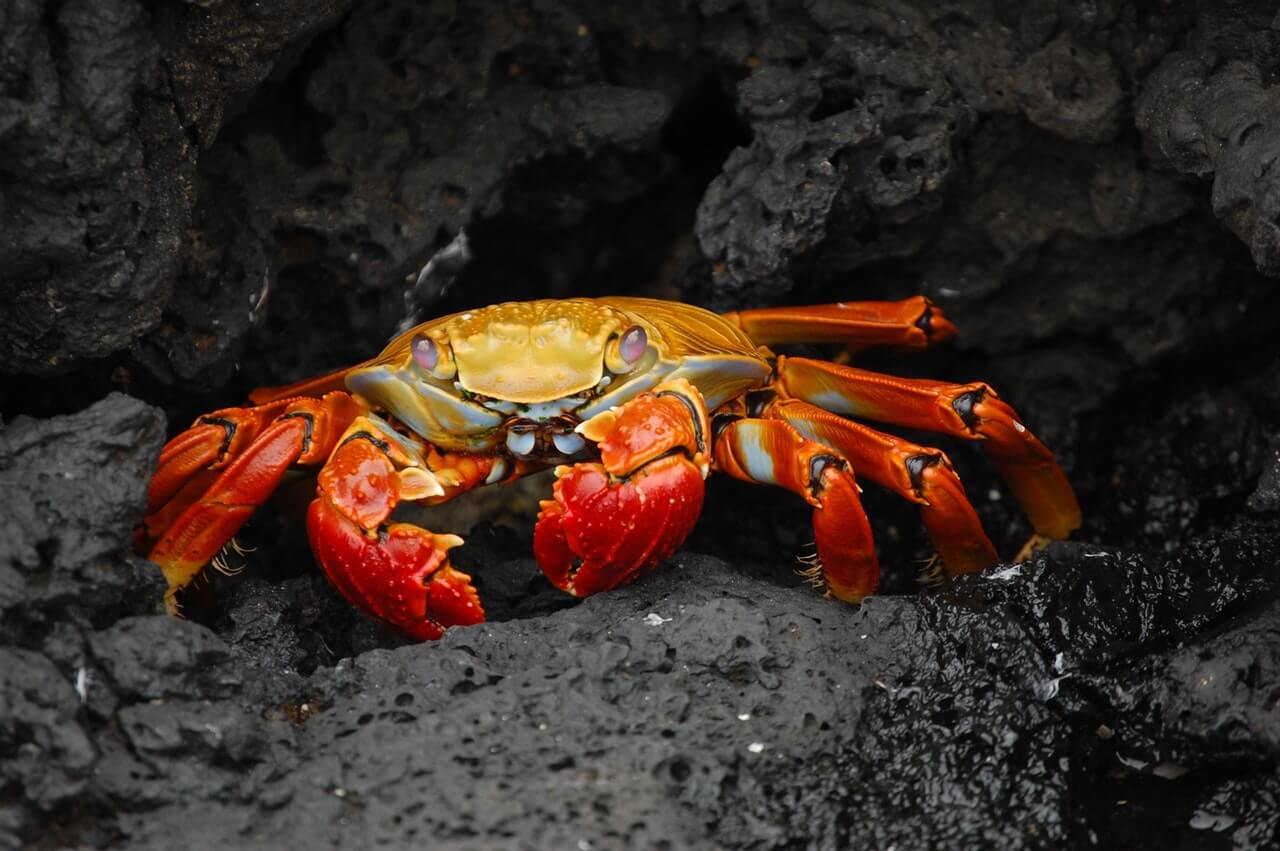 red and gold crab on rock
